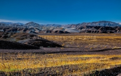 Fioriture in Death Valley  -  Blooming - Death Valley NP