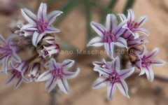 Petaled Onion - Allium Macropetalum Large - Grand Staircase NM