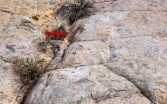 Desert Paintbrush - Grand Staircaise NM