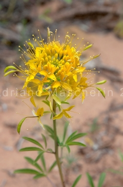 Desert Princes Plume - Stanleya Pinnata - Neddle District