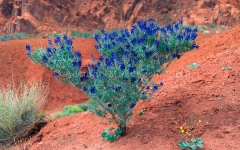 Indigo Bush - Psorothamnus Fremontii - Valley of Fire