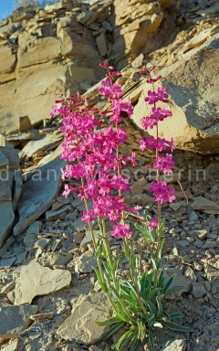 Utah Penstemon - Penstemon Utahensis - Escalante NM