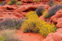 Fiori del deserto - Valley of Fire SP  /  Desert flowers - Valley of Fire SP